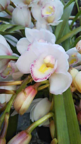 蘭、シャンソニエールが咲きました