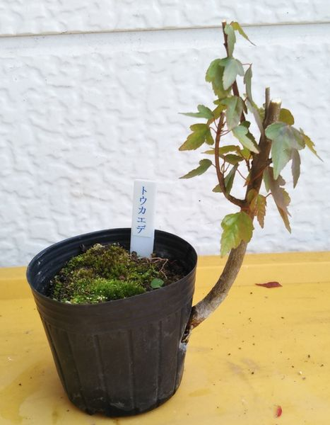 唐楓盆栽練習