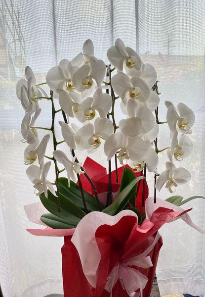 我が家にやって来た豪華な胡蝶蘭