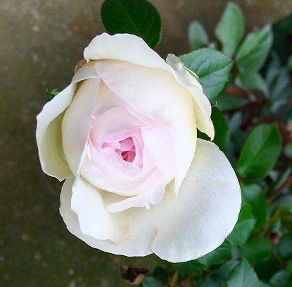 バラ開花🌹