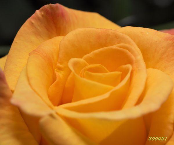 薔薇 リオサンバ開く