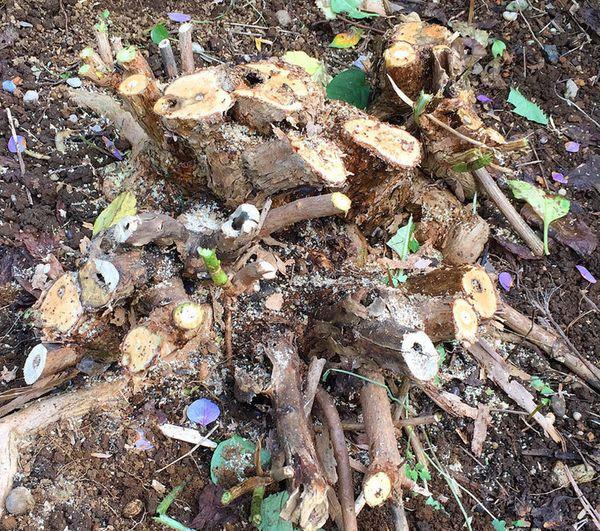 紫陽花 の 剪定 時期