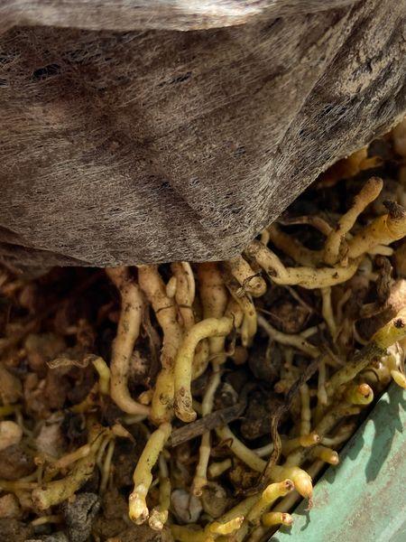 プルメリア 肥料