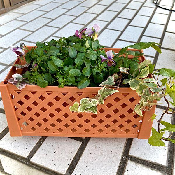 我が家のお花達♪ ビオラ編 その6
