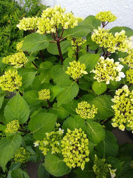 紫陽花プレミアムサファイアにつぼみ