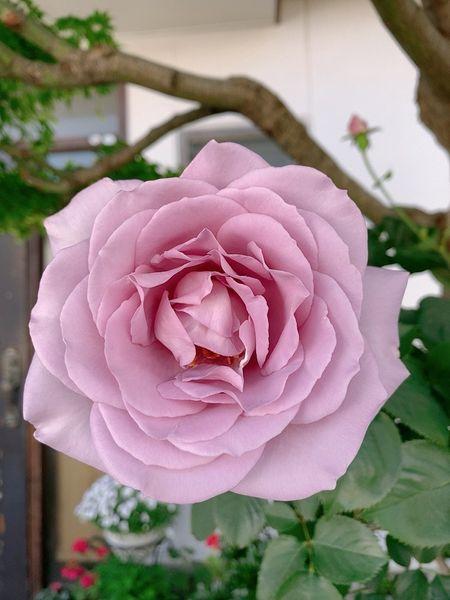 芍薬と薔薇