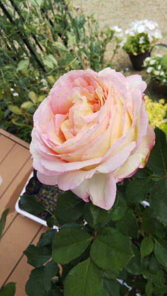 ピンク以外のバラ
