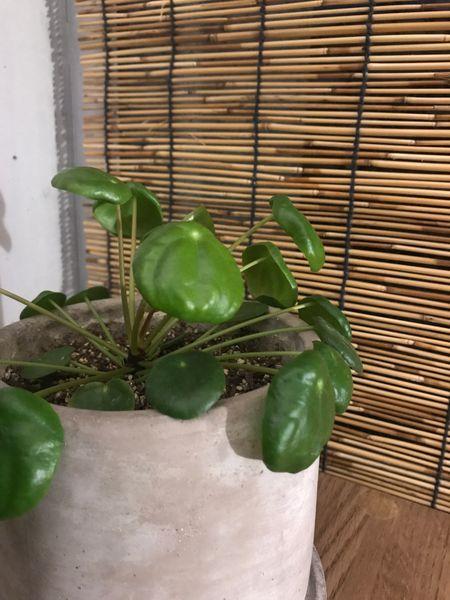 イデス ピレア ペペ ロミオ ズボラでも大丈夫☆水だけで元気な簡単観葉植物 ベスト3