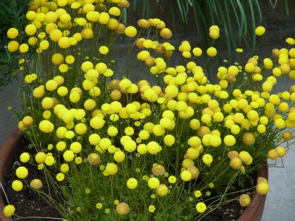 花ほたるをこぼれ種から翌年も 親株