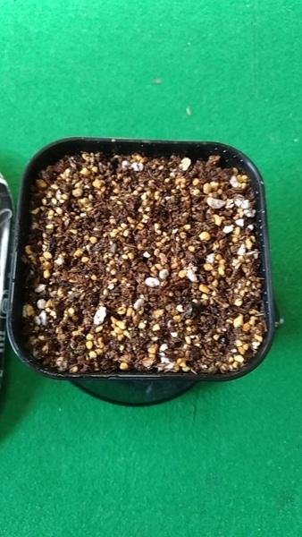 ステノクラーダ(銀角珊瑚) 実生 種播き
