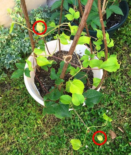 クレマチスの枯れ枝仕立て つぼみが付きました