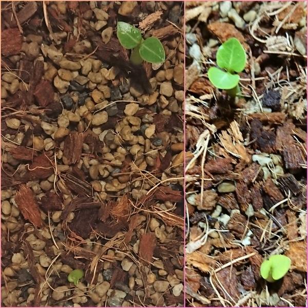 アデニウムアラビカムの種まき 7月23日発芽中③