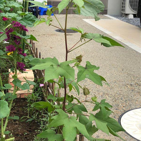 和綿/地植え鉢植え育て比べ/刺繍糸にしたい 腰高