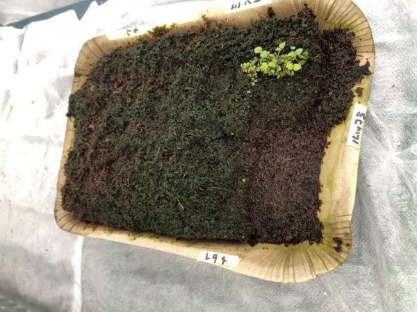 和綿/地植え鉢植え育て比べ/刺繍糸にしたい ピートバンは失敗