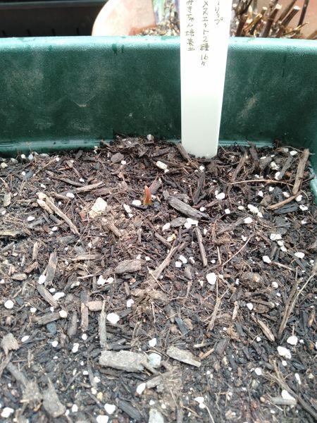 チューリップ 鉢植え 密植 やっとひとつ芽が出てくれた