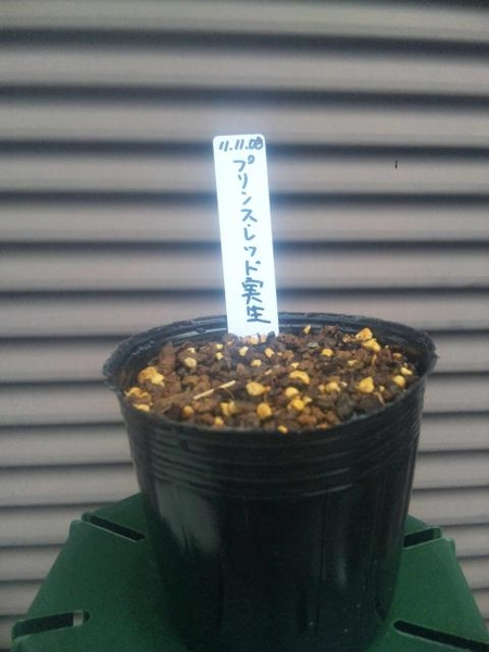 ヴィオルナ成長日記 種から開花まで 種まき