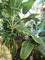 熱帯果樹の育て方、楽しみ方