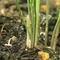 アスパラガス 種と苗 育ててます。