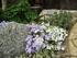 ブルー系 芝桜 オーキントンブルー