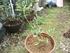 オリーブ鉢植え栽培