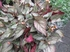葉挿しのベゴニアはどこまで育つか