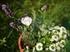 トルコギキョウの栽培