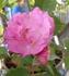 種から育てたバラ