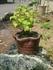ミニ盆栽 土佐の霧雨
