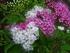 『源平シモツケ』は、白花の枝を挿...