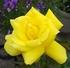 花弁が色々フリージア