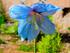青いケシ(グランディス)の花を見...