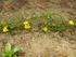 セロウィアナム(黄色のハナニラ)