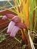 ナンバンギセルが咲いたよ!
