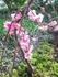 庭で育てる梅