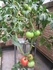 トマト 大玉とミニトマト