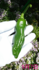 ①ししとう 種から2019初夏まき