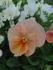 パンビオ5月開花を目指す 〜北国の真冬まき〜