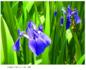 伝統植物 燕子花を育てる