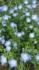 ②ネモフィラ4種類 春まき2019