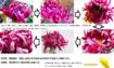 古典菊より教わる菊の世界