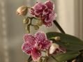 胡蝶蘭咲き始めたんですけど~!