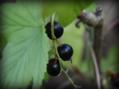 《ブラックカラント(カシス・クロスグリ)の花と2016一押しの花木》