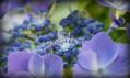 《7/29-1紫陽花》