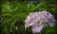 《7/29-2紫陽花》