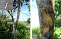 土佐ボンタンにカミキリムシ( ゚Д゚) 虫写真あり
