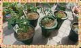 バラ(ハマナス)の新苗の植え付け