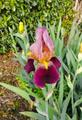 虹の花ジャーマンアイリス