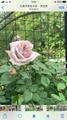 今年も薔薇が咲き出してきました