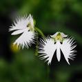 鷺草 '金星'