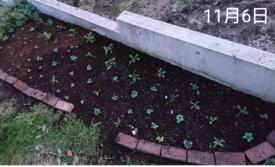 ビオラ 種から 夏まき    11月6日   庭植え完了